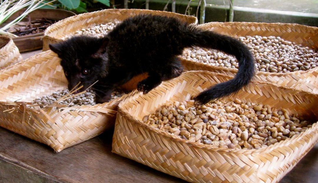 The Day I Drank Coffee From Beans Shat From a Cat