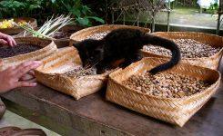 Asian Palm Civet cat plays kopi luwak coffee beans bali indonesia