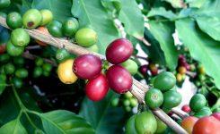 coffee cherries kopi luwak coffee bali indonesia